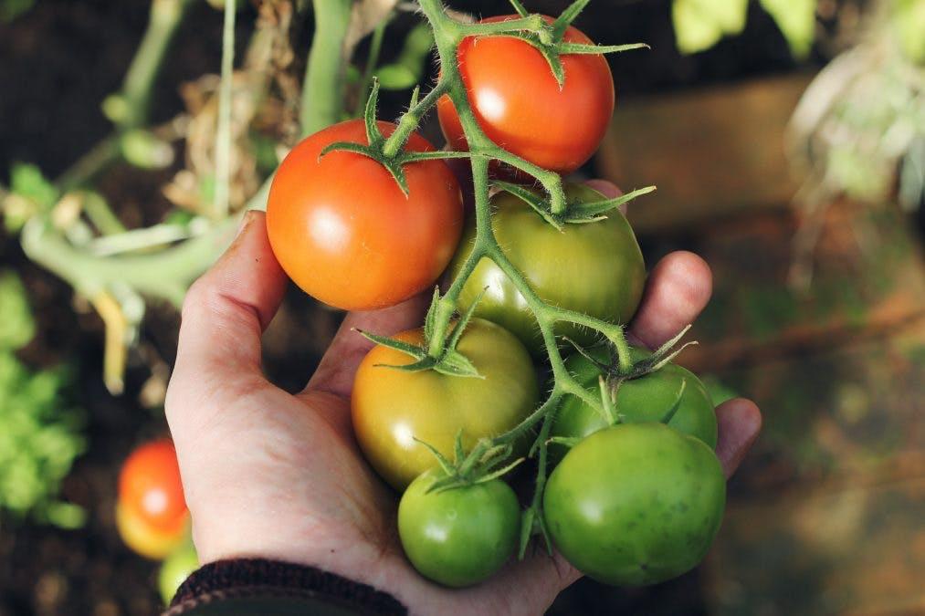 När ska man plantera tomater?
