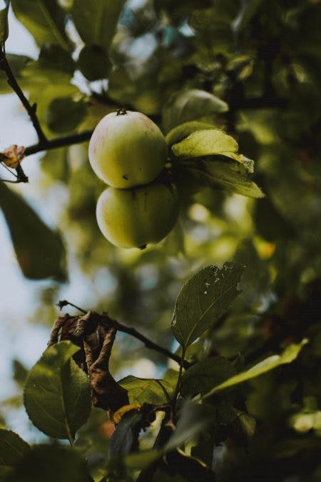 När ska man planrera äppelträd?