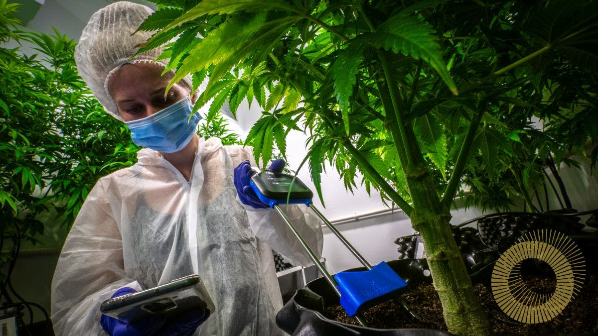 Person cultivating medical cannabis by monitoring trichrome development