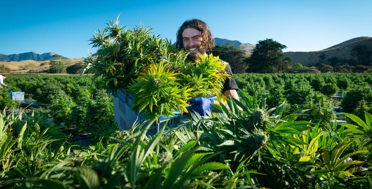 Puro's outdoor cannabis cultivation facility in Marlborough New Zealand.