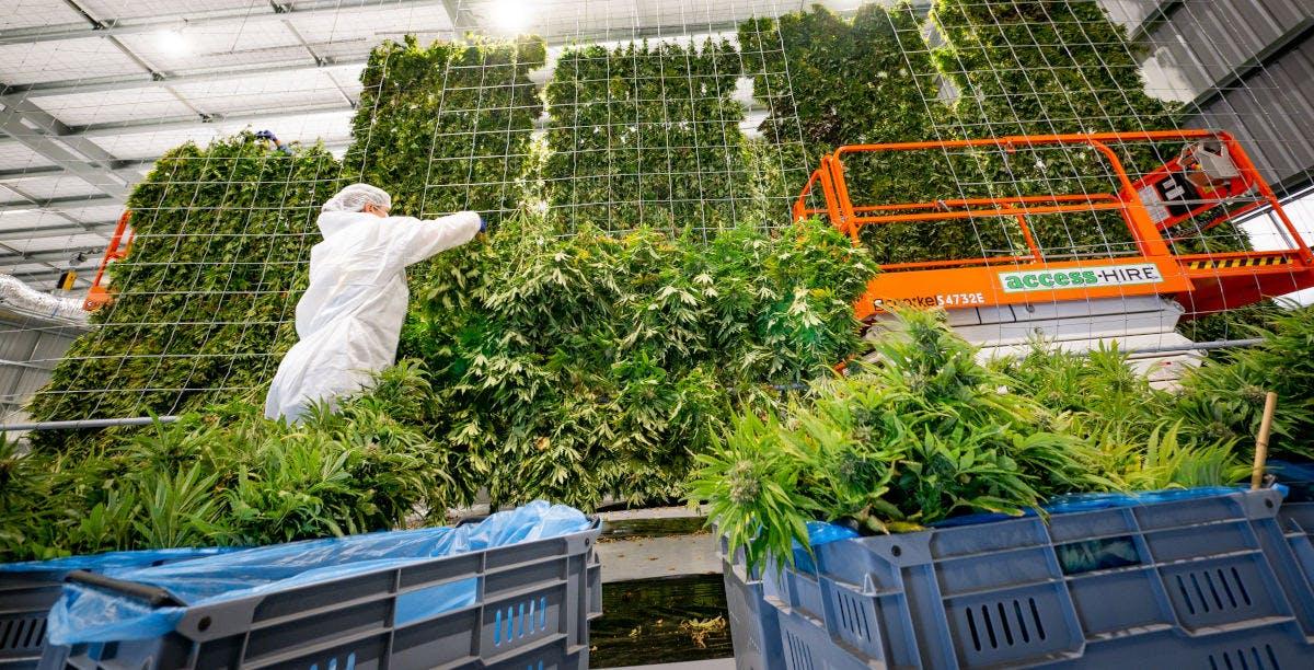 Medical Cannabis Drying Curtain at Puro's Kēkerengū Facility, New Zealand