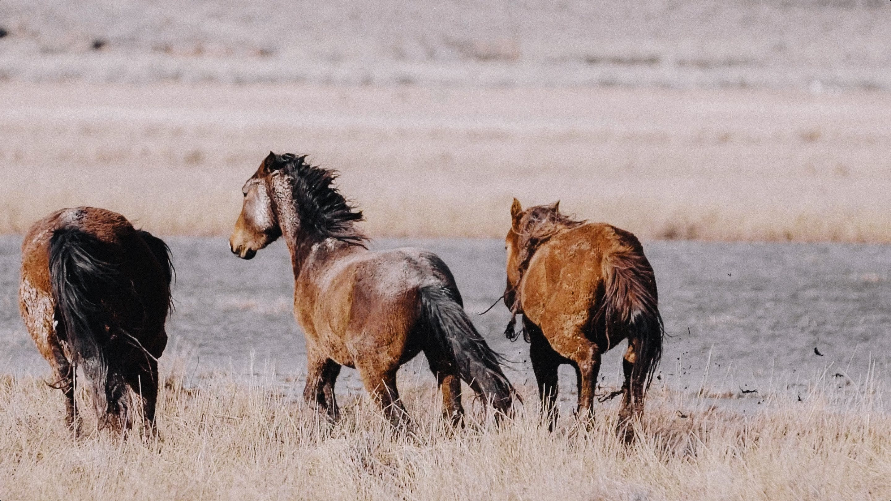 Wild horses in Northern Nevada, on location with photographer KT Merry