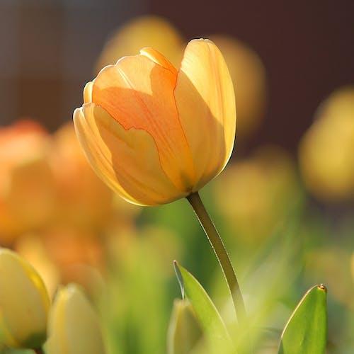 Tulpen Bloem