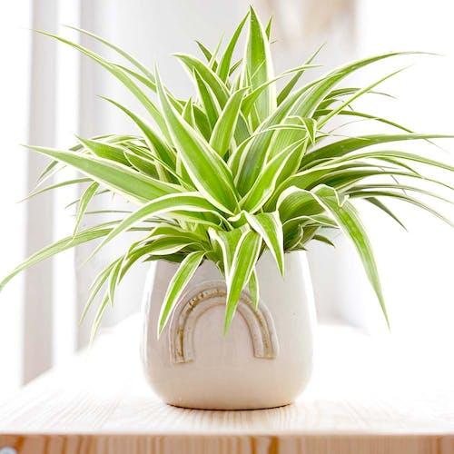 Chlorophytum Graslelie Spiderplant in pot