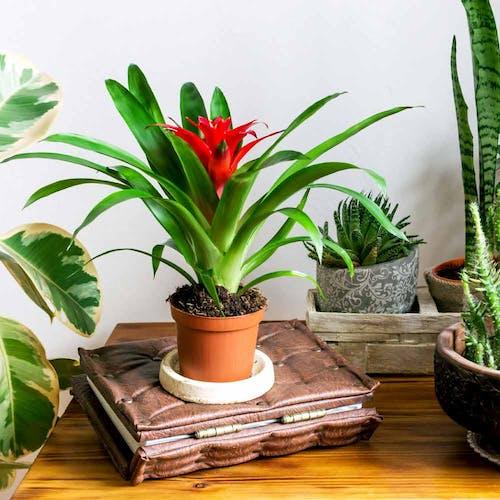 Bromelia standplaats licht en warmte