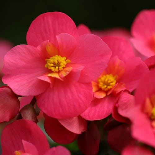Begonia Bloem