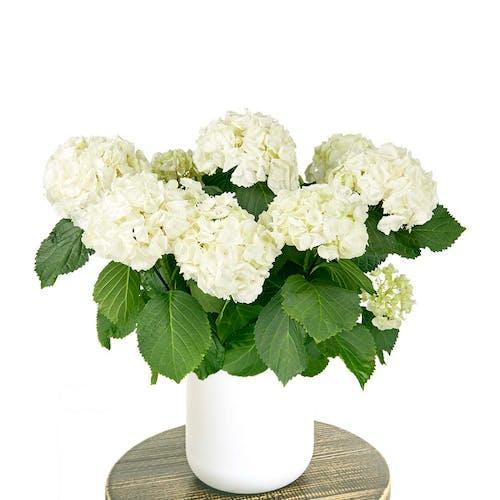 Hydrangea Hortensia pot