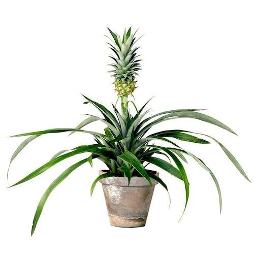 Bromelia Ananas Ananasplant in pot