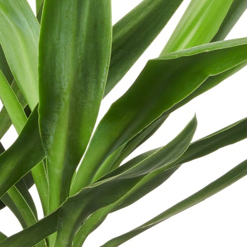 Yucca Plant Verzorging