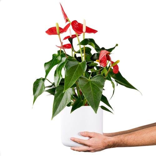 Anthurium Flamingoplant in pot