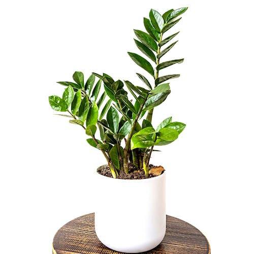 Zamioculcas ZZ-plant Emerald palm in pot