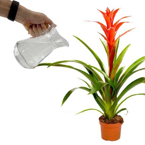 Bromelia water geven