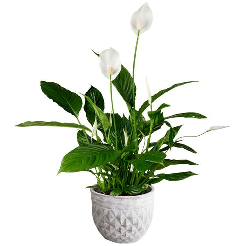 Spathiphyllum Lepelplant in pot