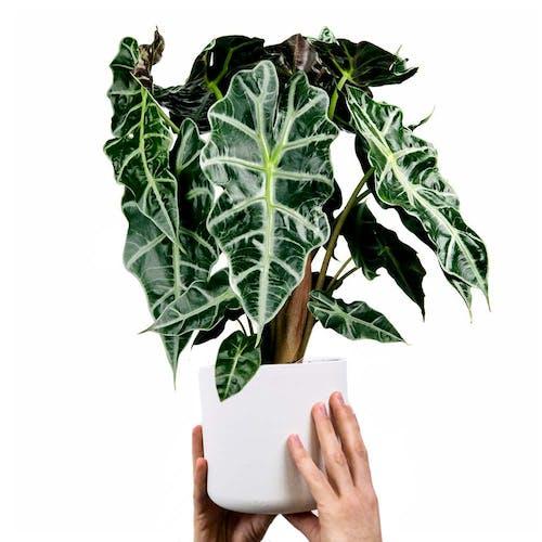 Alocasia Olifantsoor plant in pot