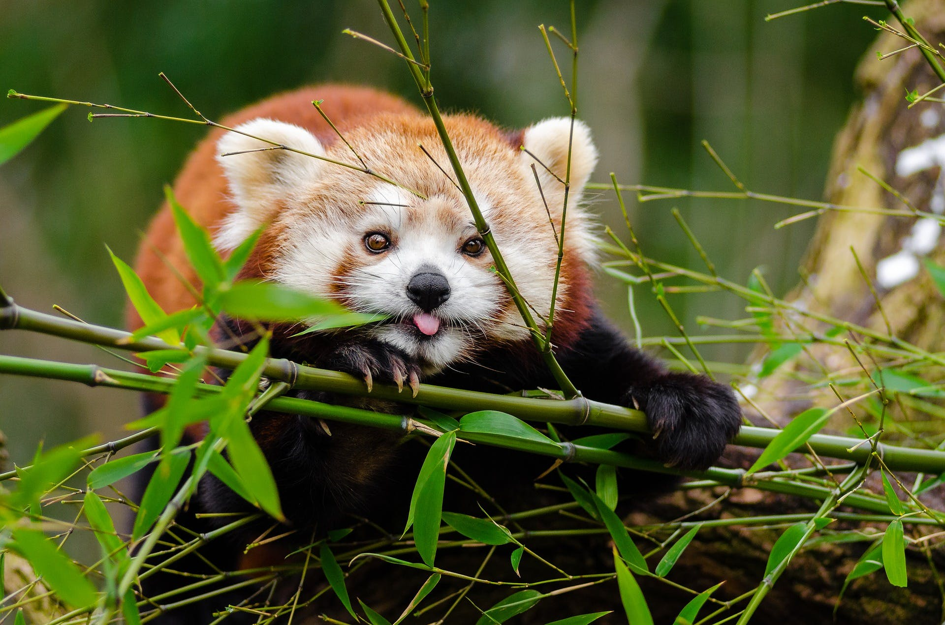 A picture of a red panda