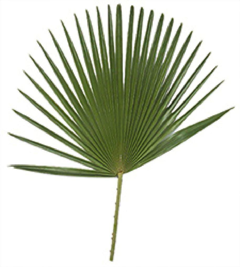 Cannabis Pflanze