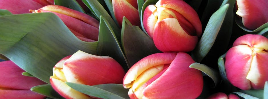 Blumen verschicken: Welche symbolische Bedeutung trägt die Tulpe?Bestellen Sie einen Tulpenstrauß für sich selbst oder als Geschenk und lassen Sie ihn von Regionsflorist liefern banner.