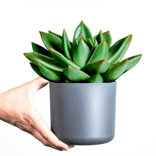 Fettpflanze