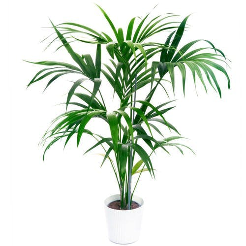 Kentia-Palme | Howea Forsteriana