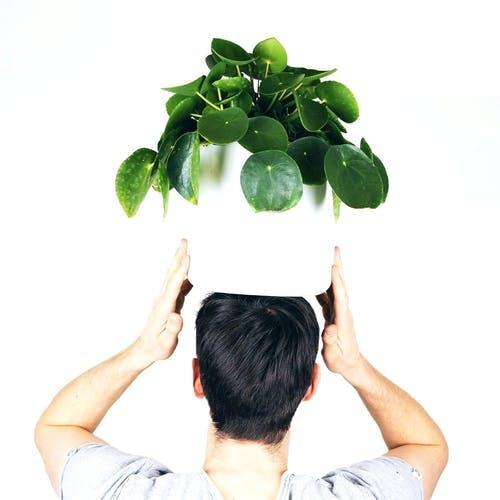 Pfannkuchenpflanze