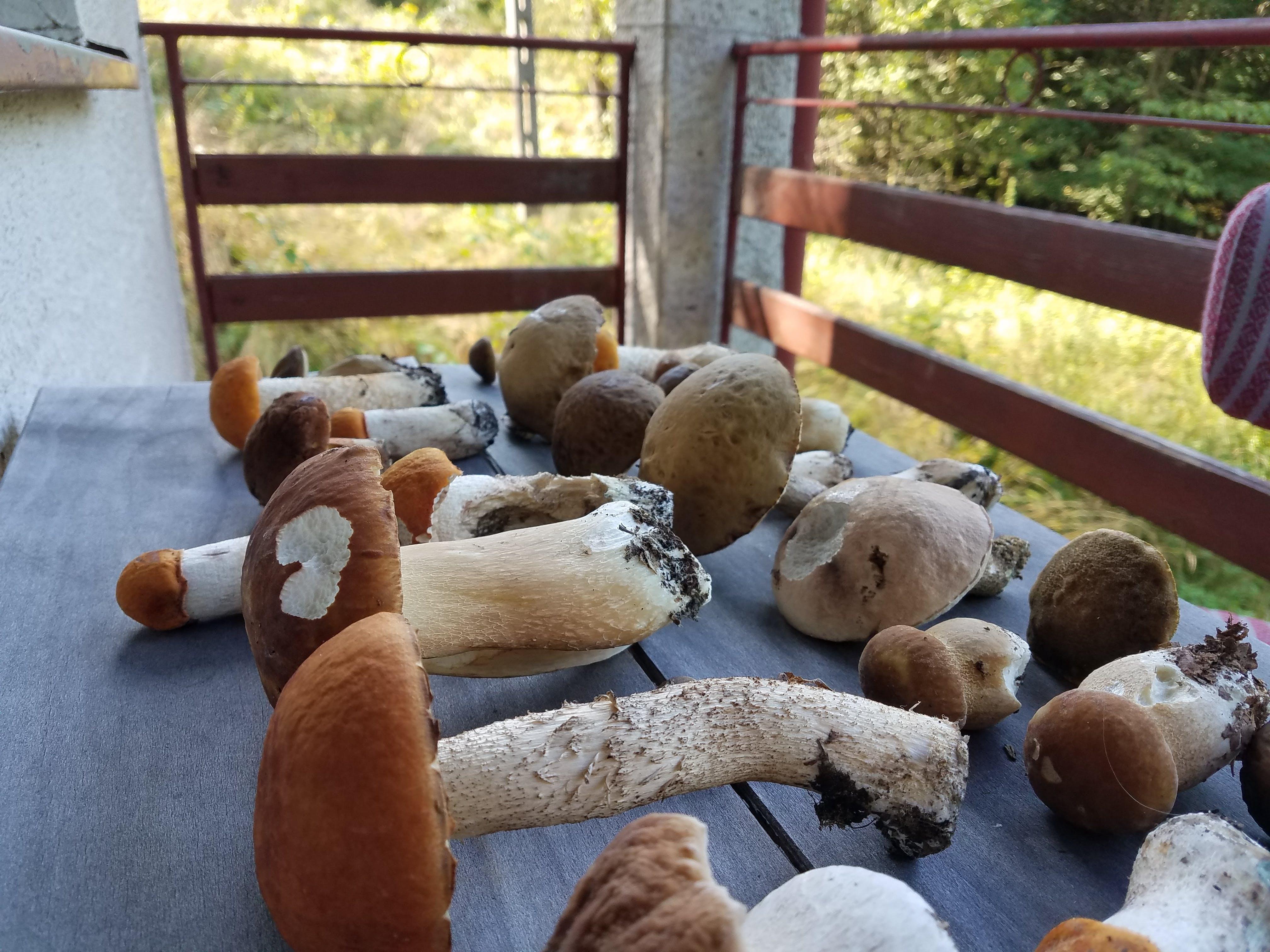 czerwone i brązowe kozaki grzyby zbiór