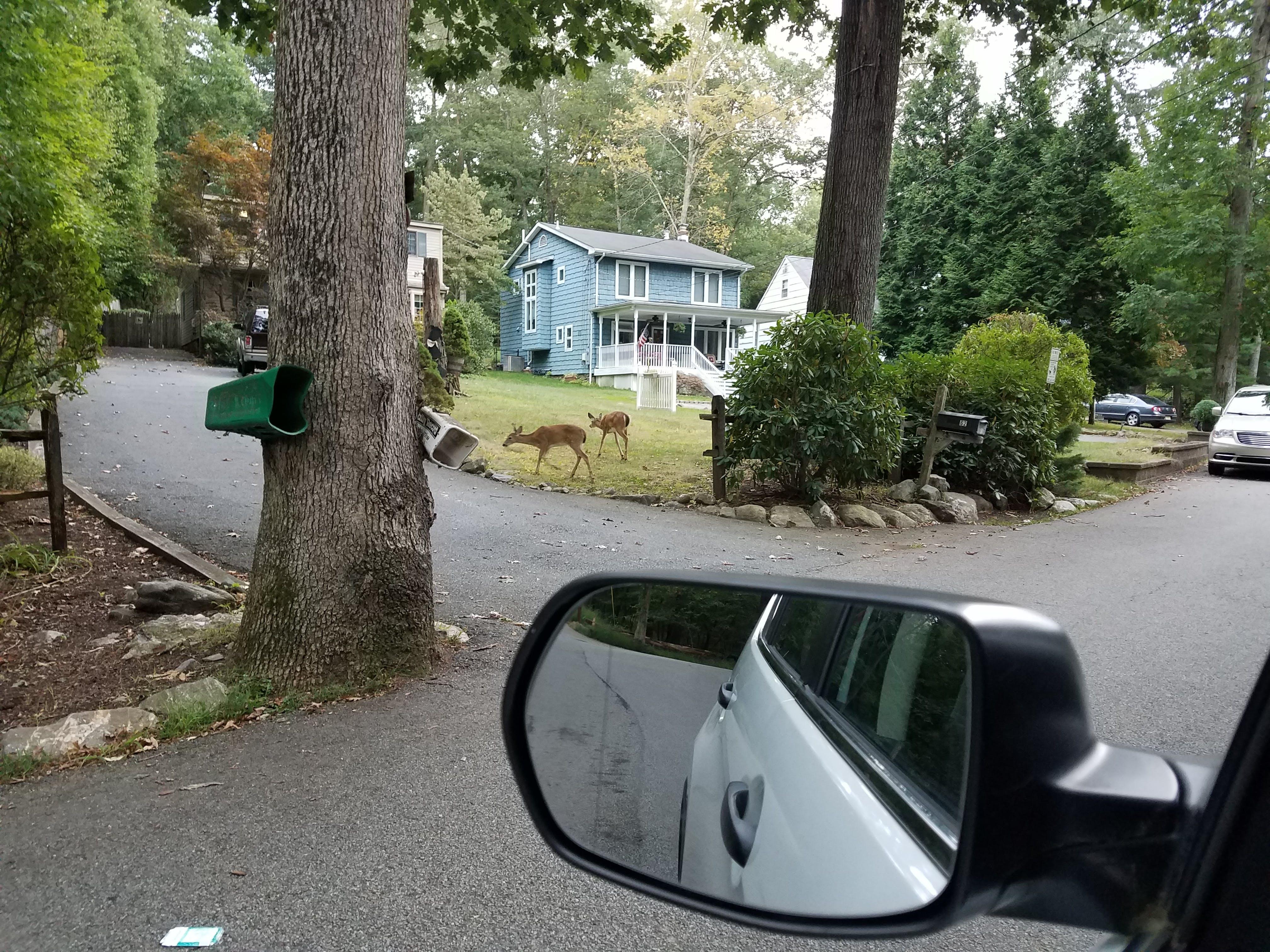 deer casually walking in nj neighborhood