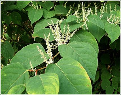Hierba nudosa japonesa