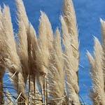 (Pink) Pampas Grass