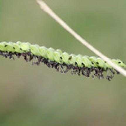 Paspalum, Dallis Grass