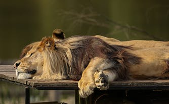 chronotype - image of sleeping lion