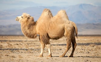 camel with humps to illustrate a mattress with kings ridge
