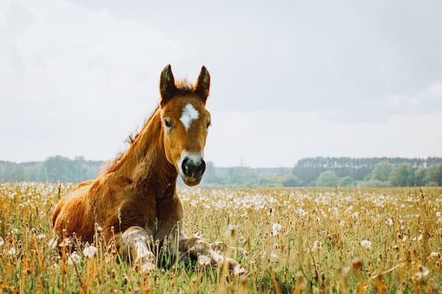 horse lying in grass