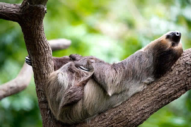sloth sleeping in try