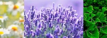 chamomile, lavender, and ginkgo biloba herbs for sleep