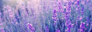 image of lavender, which can improve sleep quality