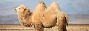 image of camel humps