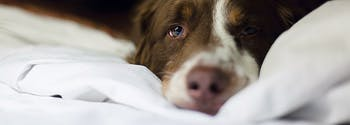 what is mattress off gassing - image of dog on mattress