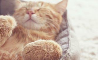 best pet bed - image of cat in pet bed