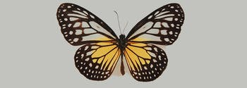 image of butterfly, which is the same shape as a thyroid gland
