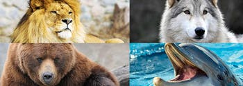 chronotype - image of lion, wolf, bear, and dolphin