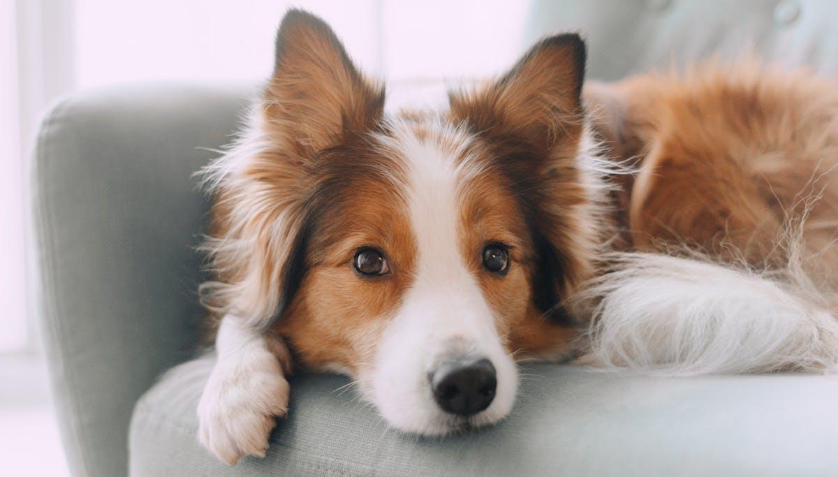 anxious dog sitting on chair