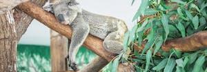 sleeping koala in tree