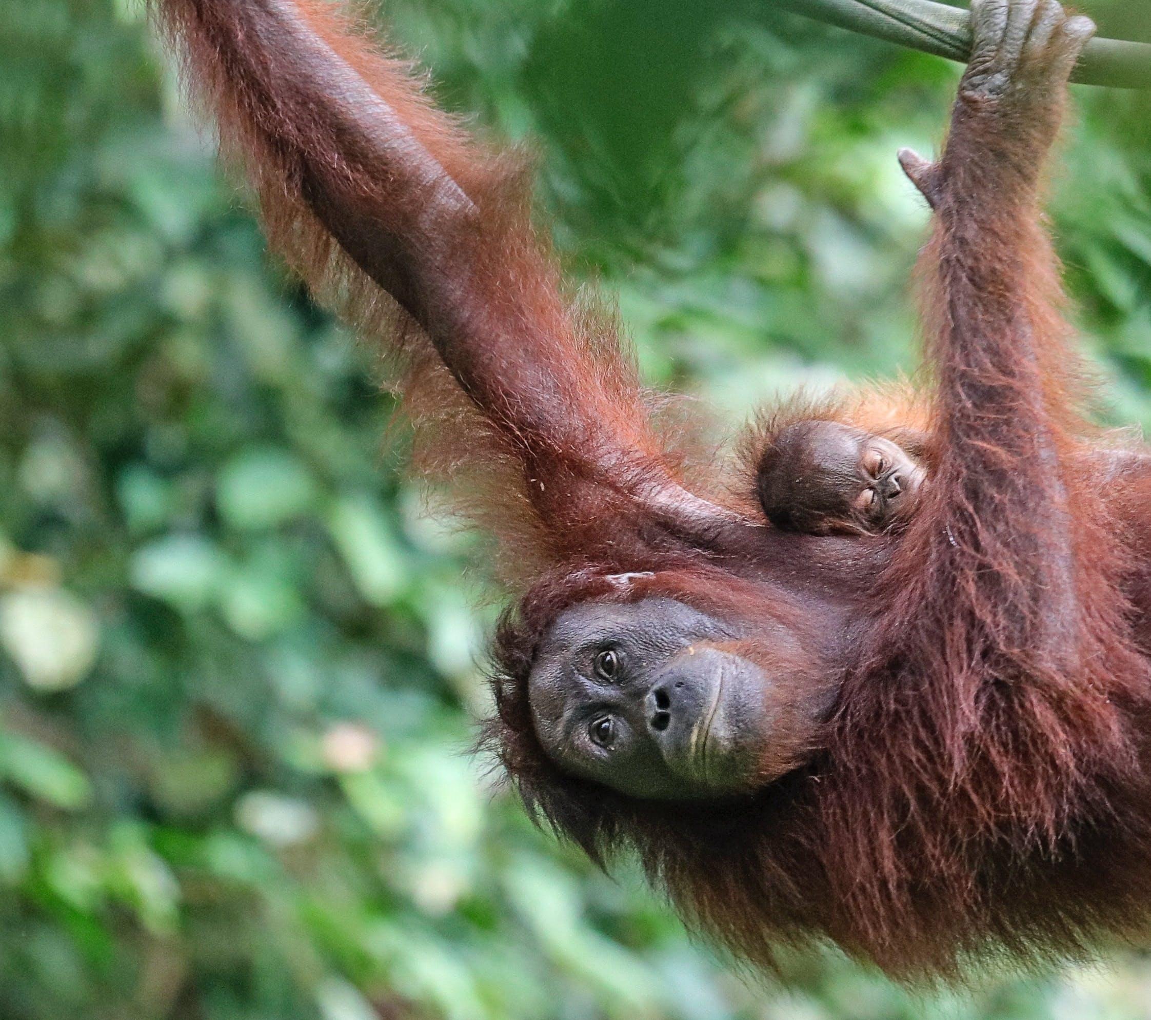 3 Places in Borneo Where Wild Orangutans are Still Wild