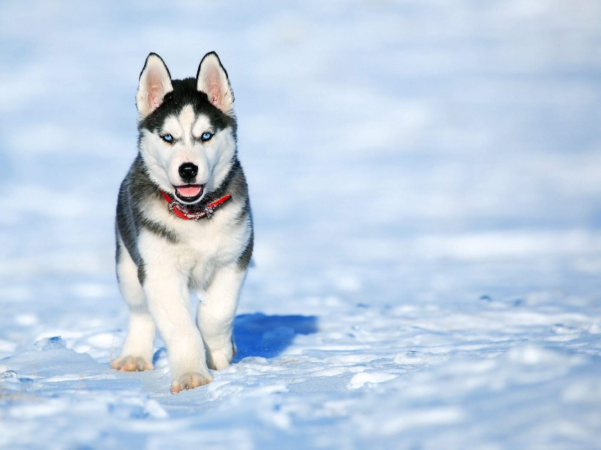 The dog Loki the Wolfdog is out in the snow one winter day