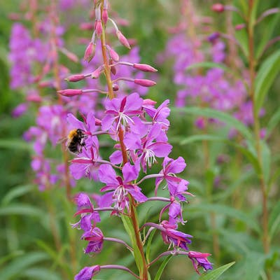 Rosebay Willowherb - a happy pink tonic for dull spots