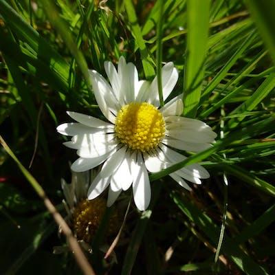 The common daisy, adornment of a sunny lawn