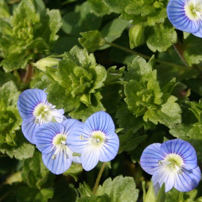 The cheery beauty of the wild Speedwell
