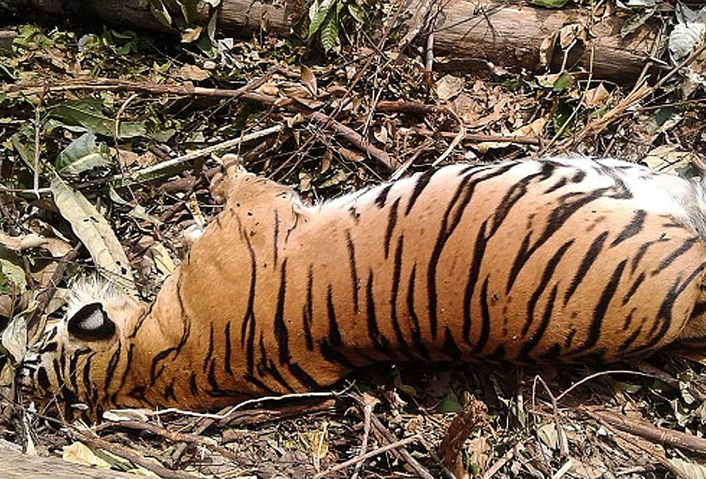 Image of a dead tiger - diamond mining results in habitat loss and wildlife impacts
