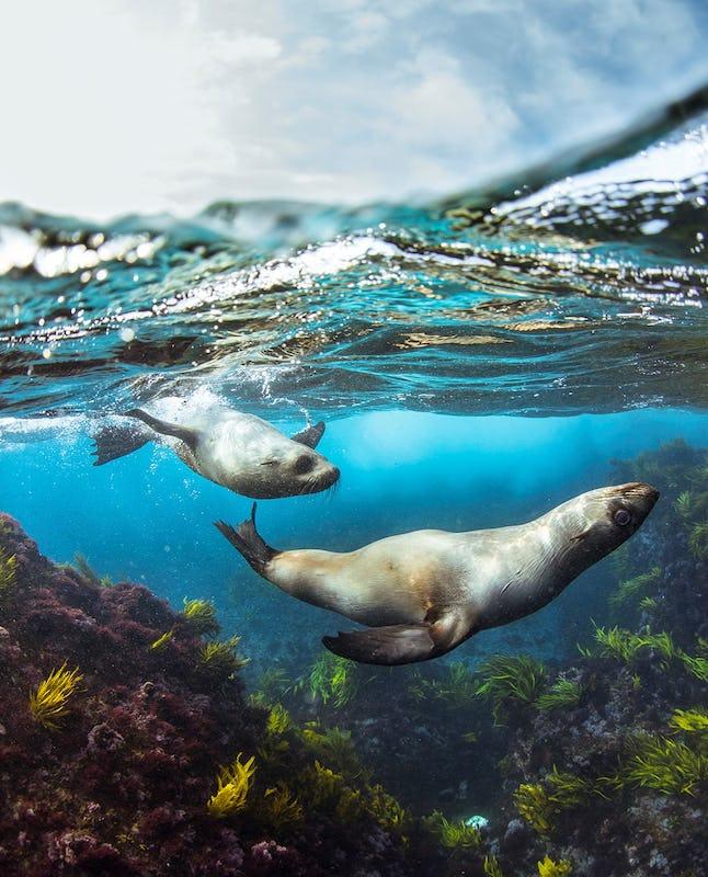 Fur seals swimming around Montague Island, Narooma.