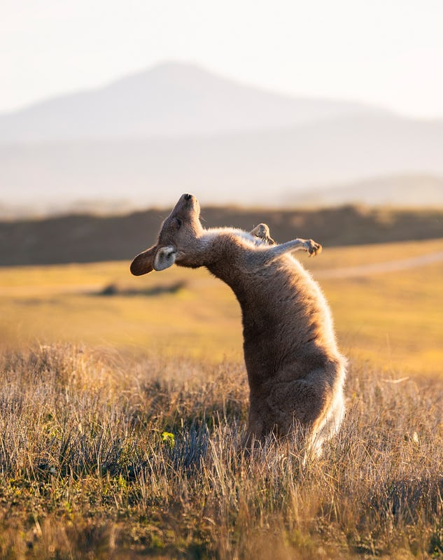Kangaroo enjoying a scratch near the Look At Me Now Headland, Emerald Beach.
